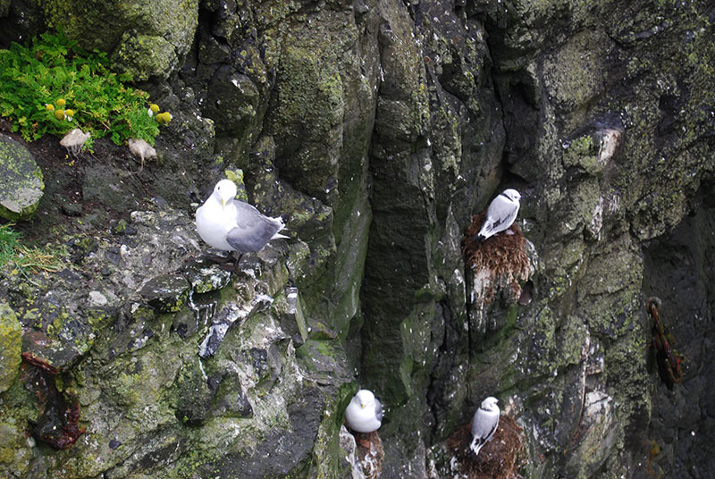 Gulls on Mykines